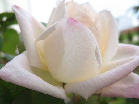 rose-small.jpg