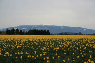 dark-orange-daffodils-small.jpg